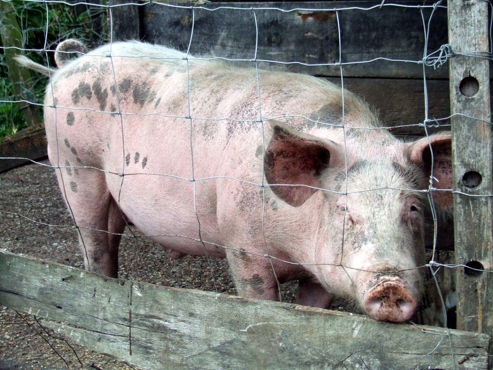 Как лечить свинью от рожи в домашних условиях 502